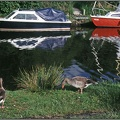 03 Geese and Boats Norfolk Broads