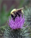 Bee on Thistle 3