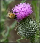 Bee on Thistle 2