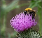 Bee on Thistle 1