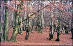 5.015 Pollarded Beech Trees, Epping Forest