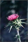 2.13 Large Thistle