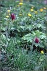 2.37 Snake's Head Fritillaries