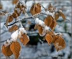 5.031 Snowy Beech Leaves