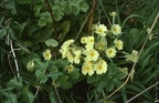77.05-A09 Wild Primroses, Birling Church, Kent