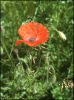 77.07-A20 Common Red Poppy