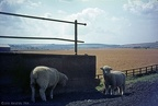 1.059 Sheep at Staithes