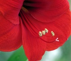Amaryllis Stamen and Pistil