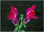 Antirrhinum (Snap Dragon)