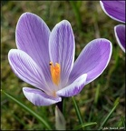 Crocus with Insect
